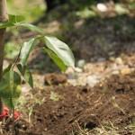 El árbol de hormigo se utiliza para fabricar las teclas de la marimba.